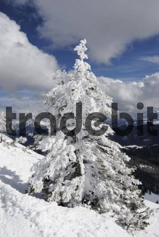 Snow-covered Norway Spruce Picea abies, Chiemgau, Bavarian Alps, Bavaria, Germany