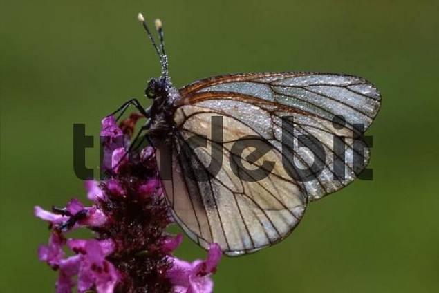Black-veined White butterfly Aporia crataegi perched on a blossom, Filz near Woergl, Tyrol, Austria, Europe