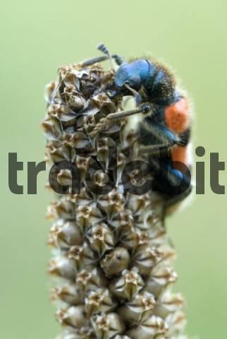 Checkered Bee Beetle Trichodes apiarius, Gertrude Messners herb garden, Brandenberg, Tyrol, Austria, Europe