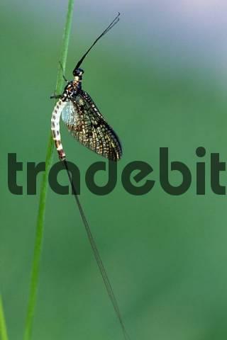 Green Drake Mayfly, Dayfly Ephemera danica, Tauber Giessen, Germany, Europe