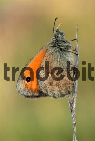 Small Heath butterfly Coenonympha pamphilus, Feldthurns, Bolzano-Bozen, Italy