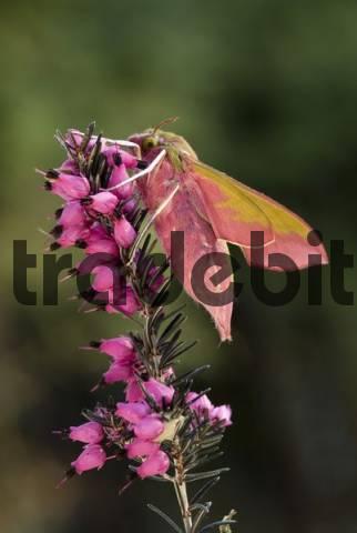 Elephant Hawk-moth Deilephila elpenor perched on a flower, Schwaz, North Tirol, Austria
