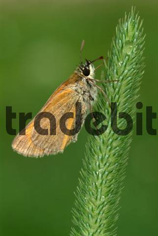 Small Skipper butterfly Thymelicus sylvestris, Angerberg, Tirol, Austria