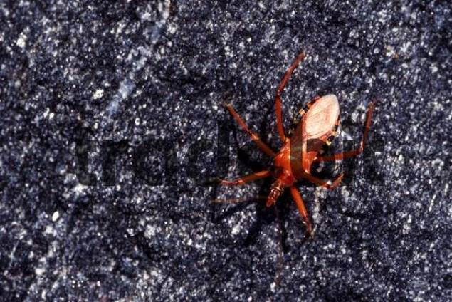 Red Assassin Bug Rhynocoris iracundus