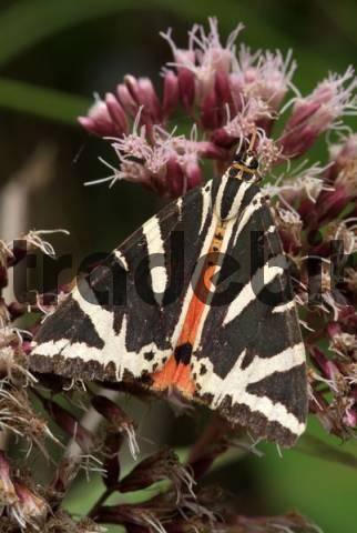 Jersey Tiger Moth Callimorpha quadripunctaria, Vomper-Loch, Vomp, Tirol, Austria