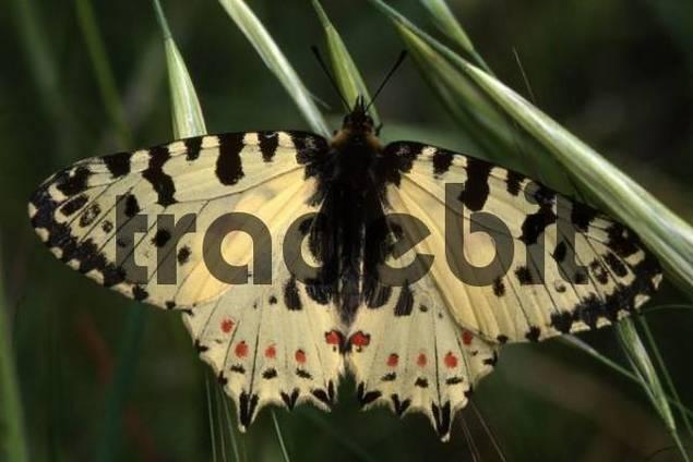 Spanish Festoon butterfly Zerynthia rumina