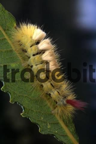 Pale Tussock Moth caterpillar Dasychira pudibunda, North Tirol, Austria