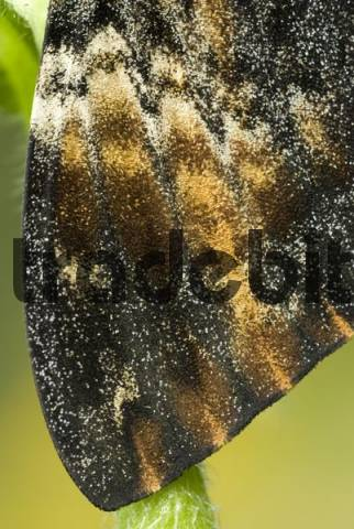 Wing detail, Deaths-head Hawkmoth Acherontia atropos, Schwaz, North Tirol, Austria