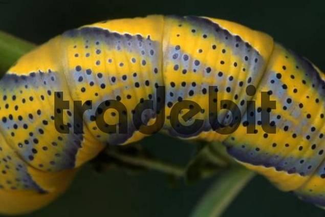 Deaths-head Hawkmoth caterpillar Acherontia atropos, Schwaz, North Tirol, Austria