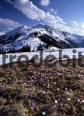 Crocus meadow in front of Mts. Gilfert, Sonntagskoepfl, Kleiner und Grosser Gamsstein, Tux Alps, Tyrol, Austria, Europe