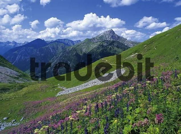 Flower meadow at the Hantenjoch, Lechtal Alps, North Tyrol, Austria, Europe