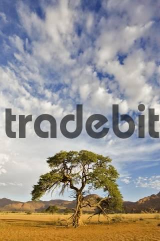 Camelthorn or Camel Thorn Tree Acacia erioloba growing on flat desert sand valley beneath dramatic cloud strewn blue sky, Tiras Mountains, Namibia, Africa