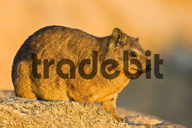 Cape Hyrax, Rock Hyrax or Rock Dassie Procavia capensis sitting on a rock, Augrabies Falls National Park, South Africa, Africa