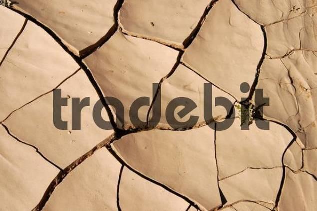 Green shoot growing through dried cracked mud, Sahara Desert, Libya, North Africa