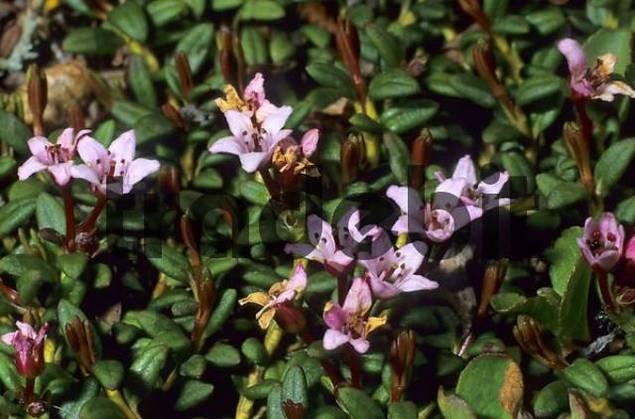 Alpine - or Trailing Azalea Loiseleuria procumbens, Ericacea family
