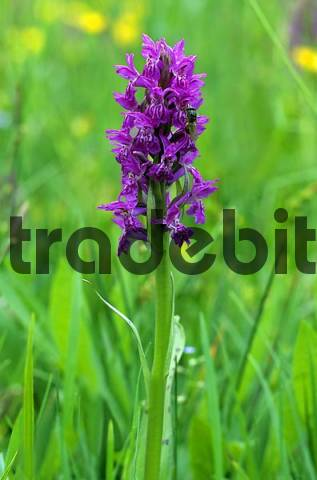 Western Marsh Orchid, Fan Orchid Dactylorhiza majalis, orchid family
