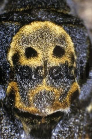 Closeup, Deaths-head Hawkmoth Acherontia atropos, sphingidae family