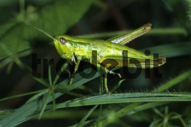 Small Gold Grasshopper Chrysochraon brachyptera, Acrididae family, female