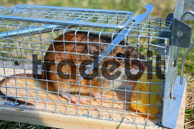 Mouse caught in a live-catching mousetrap