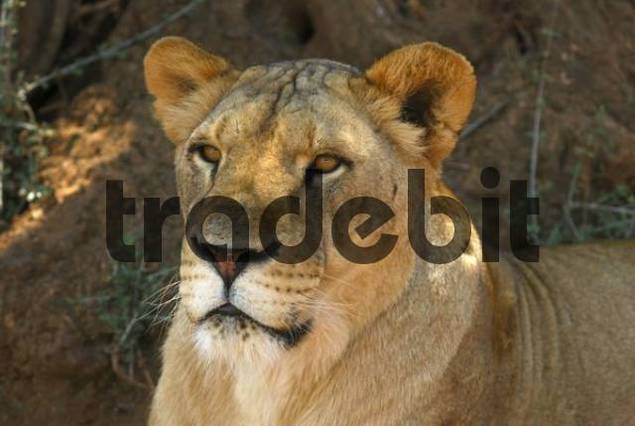 Lion Panthera leo at Italys largest zoo in Fasano, Apulia, Southern Italy