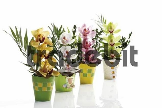Floral arrangements, multicoloured orchids Orchidaceae in four colourful flowerpots