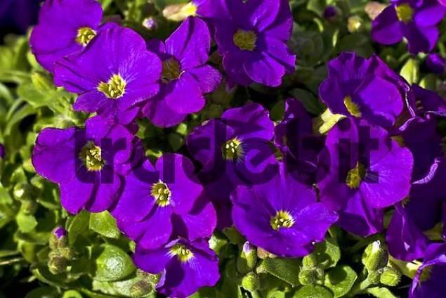 flowering aubretia cascade purple rock cress aubrieta cultorum d. Black Bedroom Furniture Sets. Home Design Ideas
