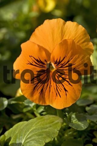 Flowering Garden Pansy Viola x wittrockiana F1 Hybrid, blossom