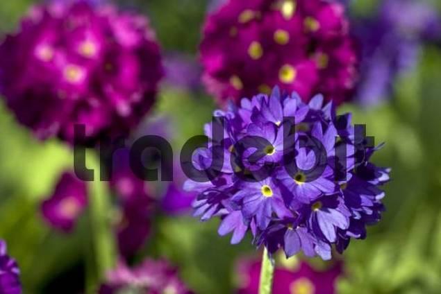 Flowering Drumstick or Himalayan Primrose Primula denticulata