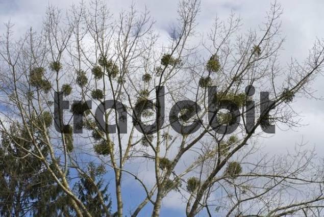 Mistletoes Viscum growing on a tree