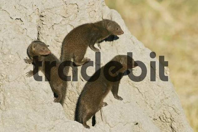 Common Dwarf Mongooses Helogale parvula standing on a termite hill, Moremi National Park, Moremi Wildlife Reserve, Okavango Delta, Botswana, Africa