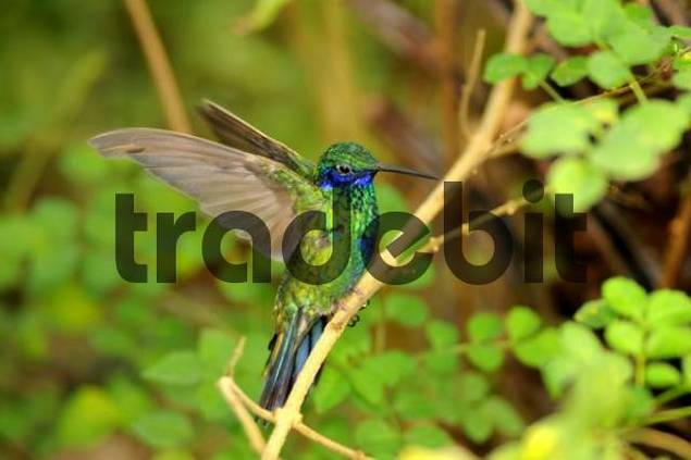 Green Violet-ear hummingbird Colibri thalassinus perched on a branch