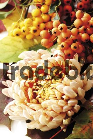 Firethorn berries and chrysanthemum with colourful autumn leaves