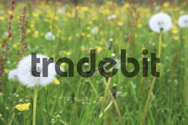 Dandelion clocks Taraxacum on a meadow