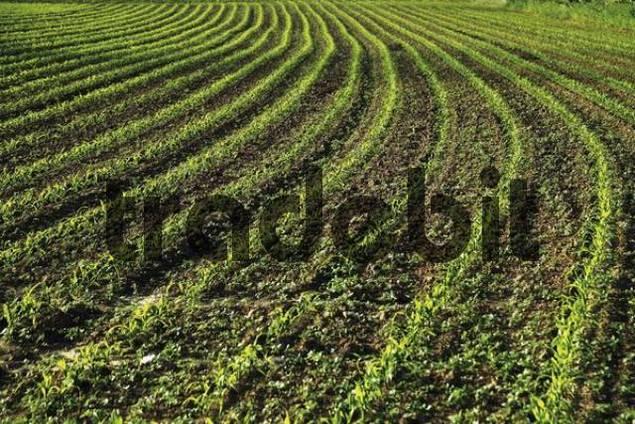 Cornfield, maize field Zea mays
