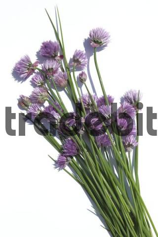 Blossoming chives Allium schoenoprasum