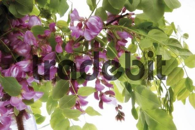 Purple Black Locust, False Acacia Robinia pseudoacacia