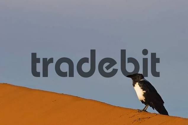 Pied Crow Corvus albus on a sand dune, Deadvlei, Namib Desert, Namibia, Africa