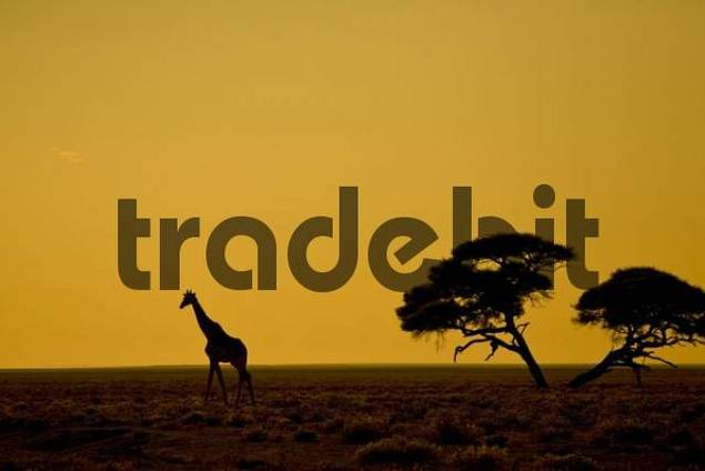 Giraffe Giraffa camelopardalis at sunrise, Etosha National Park, Namibia, Africa