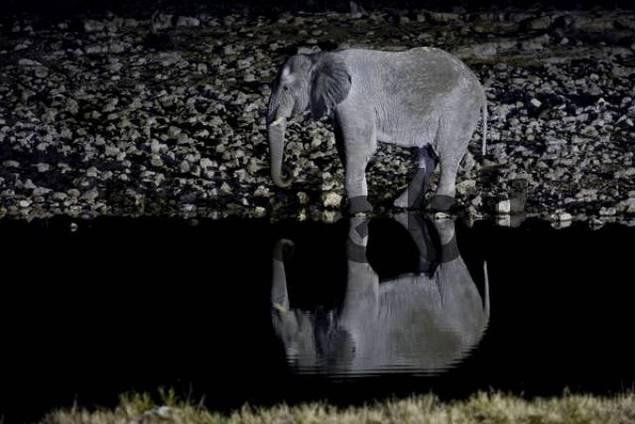 Elephant Elephantidae drinking from a waterhole at night, reflection, Okaukuejo, Zebras Equus drinking from a waterhole, Okaukuejo, Etosha National Park, Namibia, Africa