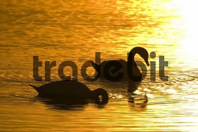 Mute Swans Cygnus olor at sunset