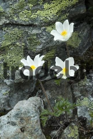 Alpine Pasqueflower Pulsatilla alpina, Oberthauern, Salzburg, Austria, Europe