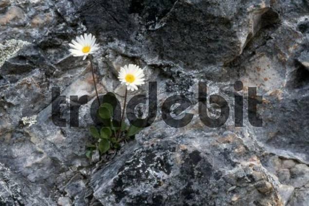 Daisy Star or Daisy of the Alps Aster bellidiastrum, Sexten Dolomites, Bolzano-Bozen, Italy, Europe
