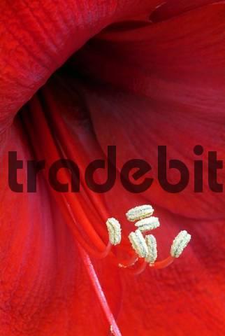 Amaryllis Blossom Hippeastrum, Schwaz, Tyrol, Austria, Europe