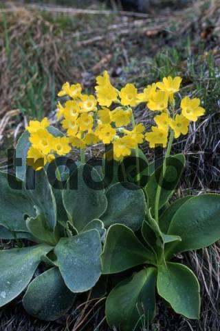 Auricula or Bears Ear Primula auricula, Vomperloch, Karwendel Range, Tyrol, Austria, Europe