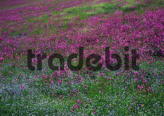 Red Campion Silene dioica and Wood Forget-Me-Nots Myosotis sylvatica in Aschau, Tyrol, Austria, Europe