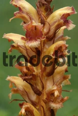 Broomrape, Broom-rape Orobanche gracilis, Martinau, Lechtal, Tyrol, Austria, Europe