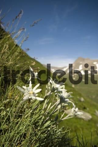 Edelweiss Leontopodium alpinum, Franz-Josefs-Hoehe, Hohe Tauern National Park, Carnithia, Austria, Europe