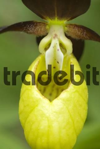 Ladys Slipper Orchid Cypripedium calceolus, Martinau, Lechtal, Tyrol, Austria, Europe