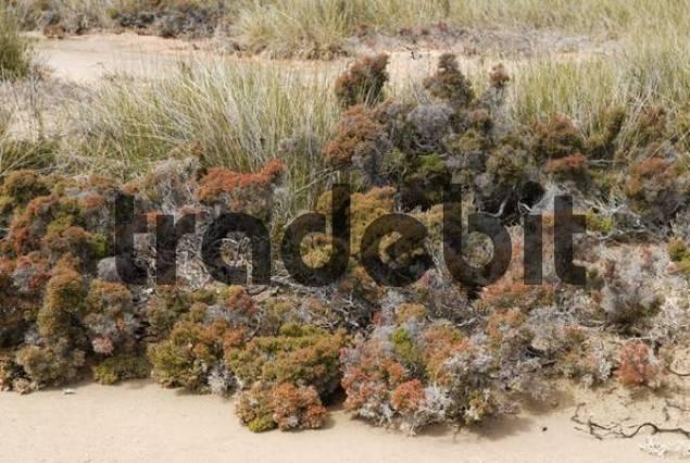 Salt pan vegetation, Western Australia, Australia