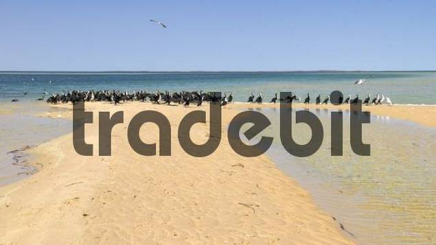 Cormorant colony Phalacrocorax on the beach, Monkey Mia, Shark Bay, Western Australia, Australia